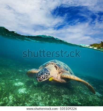 Turtle swimming on the sea bottom  - half underwater shot - stock photo