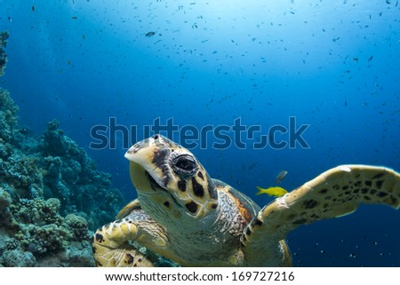 Turtle swimming toeards camera portrait. Underwater view with animal in close-up and sea full of small fish in the background.