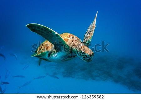 turtle swimming underwater - stock photo