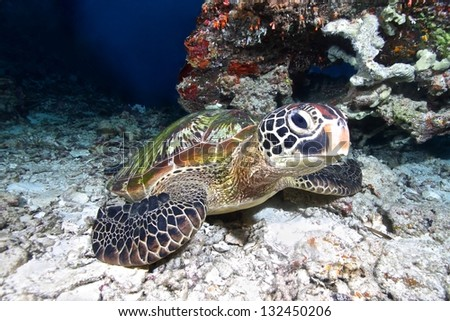 Turtle swims over coral reef - stock photo
