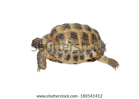 Turtle (Testudo horsfieldii)  moving on whie background - stock photo