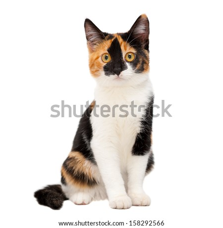 Turtle three color young cat isolated - stock photo