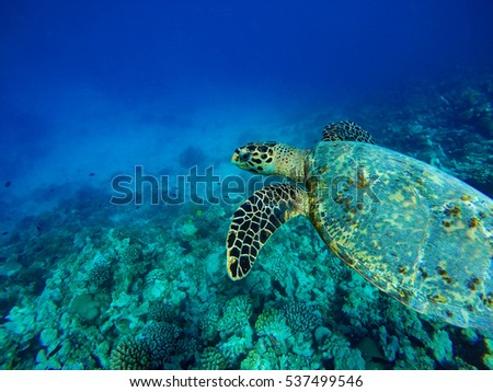 Turtle under water. Coral reef of a Maldives island.
