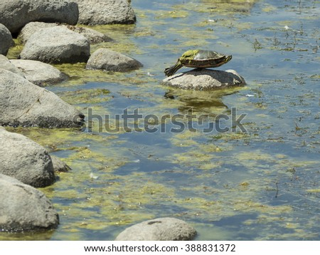 Turtle with algae covering part of his shell balances on a rock in the midst of a pond - stock photo