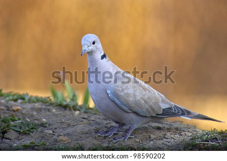 Turtledove - stock photo