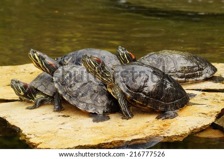 Turtles,decorative turtle - Trachemys scripta elegans - stock photo