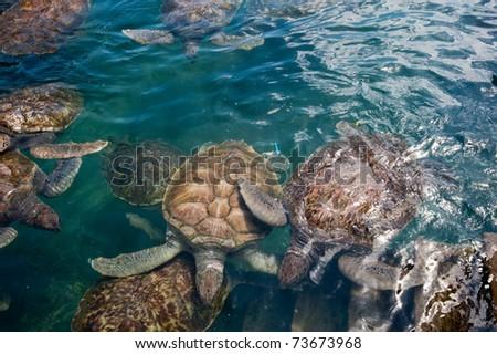 Turtles in Grand Cayman Turtle Farm - stock photo