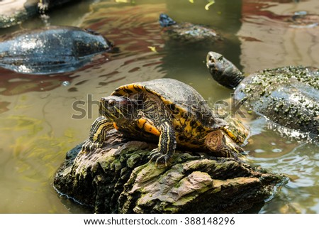 Turtles sunning at the pond,Freshwater turtles - stock photo