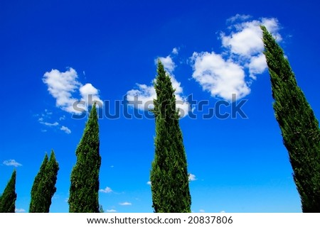 Tuscan Conifer Trees - stock photo