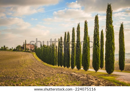 Tuscan cypress trees on the way home - stock photo