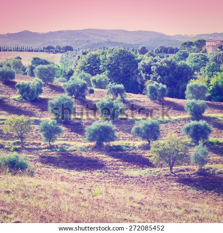 Tuscan Landscape with Olive Groves at Sunset in Italy, Instagram Effect - stock photo