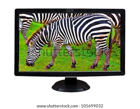 TV or computer monitor showing wild zebras grazing on a green grass field  (isolated on white)