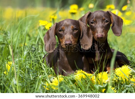 tvo dachshund and dandelions - stock photo