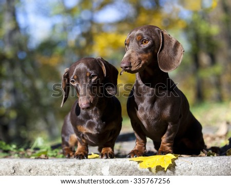 tvo dachshund rabbit dogs on autumn forest with leaves - stock photo