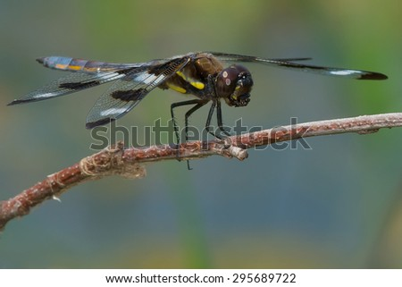Twelve-spotted Skimmer Dragonfly perched on a stick.