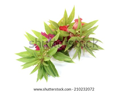 twice a fresh balsam on light background - stock photo