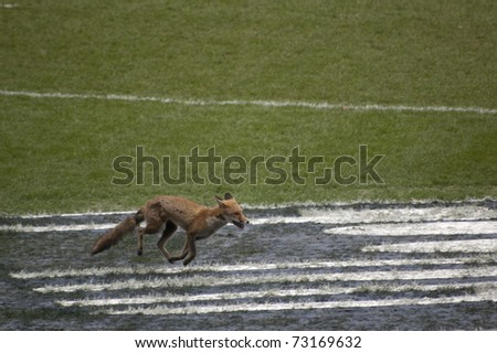 TWICKENHAM LONDON - MAR 13: Fox running on the pitch at England vs Scotland, England playing in white Win 22 -16, at RBS Six Nations Rugby Match on March 13, 2011 in Twickenham, England. - stock photo