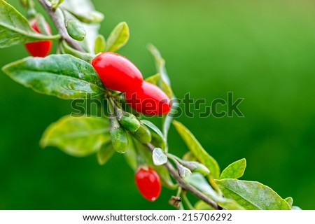 Twig filled with fresh goji berries - stock photo