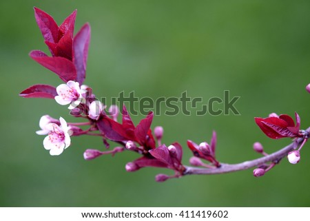 Twig in Spring with Pink blossoms and Green Leaves and new growth - stock photo
