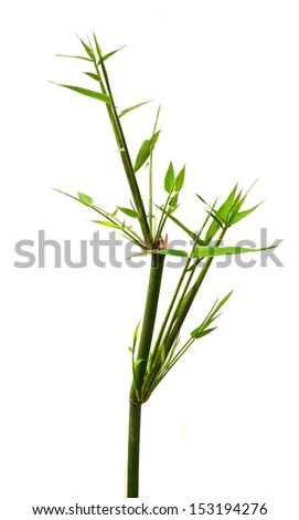 Twig leaves of bamboo tree  - stock photo