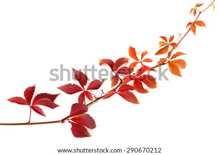 Twig of autumnal grapes leaves. Parthenocissus quinquefolia foliage. Isolated on white background with copy space - stock photo