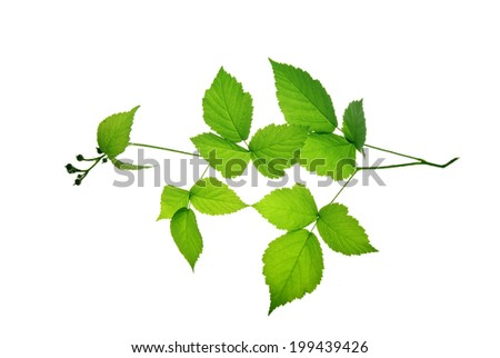 Twig of blackberry with green leaves isolated on white background   - stock photo