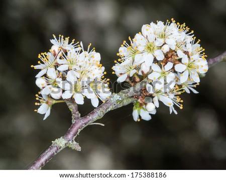 Twig of flowering blackthorn, Prunus spinosa, in spring - stock photo