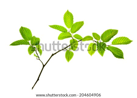Twig of hornbeam with green toothed leaves isolated on white     - stock photo