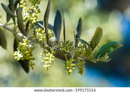 Twig of olive tree with leaves and unripe fruits in summer.