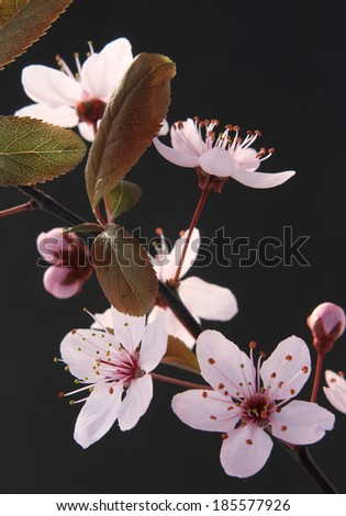 Twig of sakura on black background - stock photo