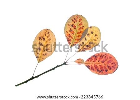 Twig of smoke tree with multicolored autumn leaves isolated on white    - stock photo