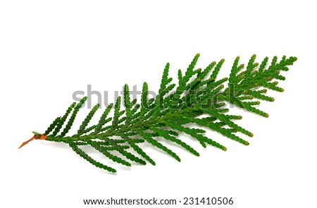 Twig of thuja isolated on white background - stock photo