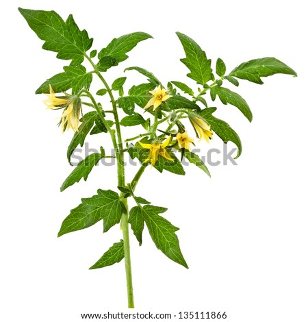 twig of tomato plant with flowers isolated on white background - stock photo