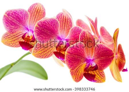 twig orchid phalaenopsis orange blossoms isolated on a white background - stock photo