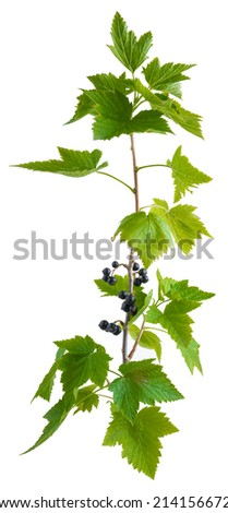 twig with berries of black currant isolated on white background - stock photo
