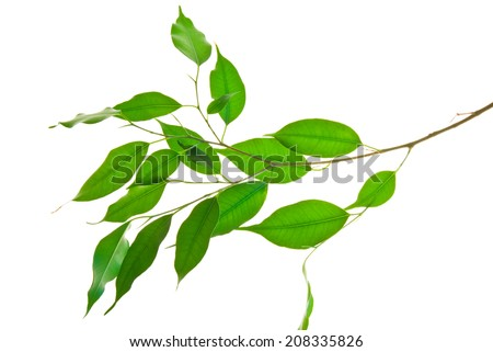 Twig with elongated pointy green leaves isolated on white  - stock photo