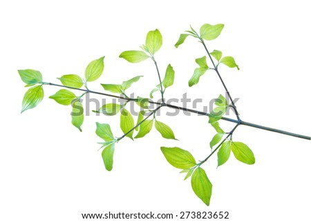 Twig with first young leaves isolated on white background, veining is well viewed - stock photo
