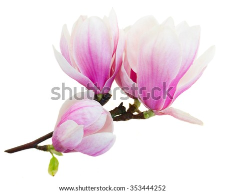 twig with fresh blooming  pink magnolia   flowers isolated on white background - stock photo