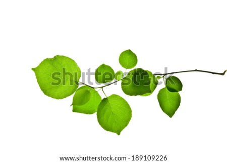 Twig with green leaves isolated on white background  - stock photo