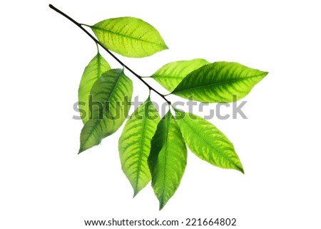 Twig with green leaves isolated on white, veins are well viewed  - stock photo
