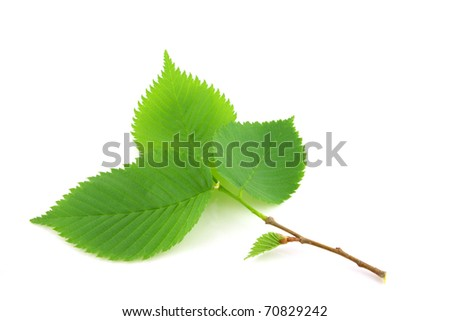 Twig with green leaves over white - stock photo