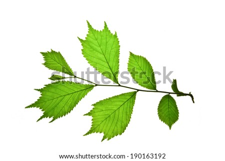 Twig with green toothed leaves of Japanese elm isolated on white     - stock photo