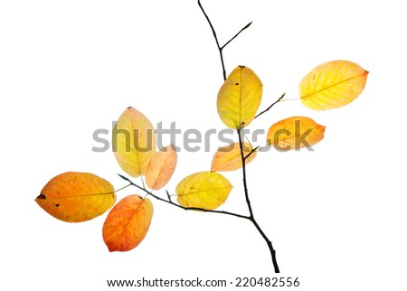 Twig with multicolored autumn leaves isolated on white  - stock photo