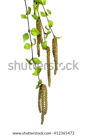 Twigs of a birch tree with fresh green leaves and catkins on the white background isolated. - stock photo