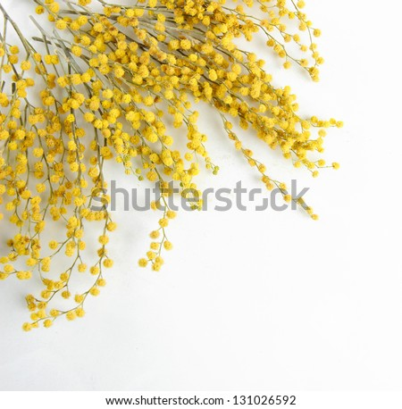 Twigs of mimosa flowers, isolated on white - stock photo