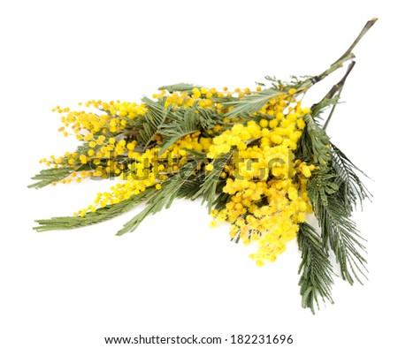 Twigs of mimosa flowers isolated on white - stock photo