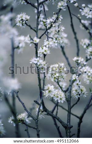 Twigs with white Apple Blossoms in Springtime
