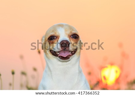 Twilight Chihuahua, Chihuahua, pet, dog, puppy, animal. - stock photo