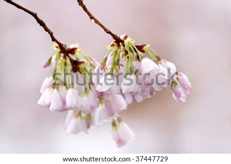 Twin Cherry Blossom Clusters Macro Horizontal - stock photo