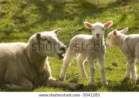 Twin new born lambs with mother - stock photo